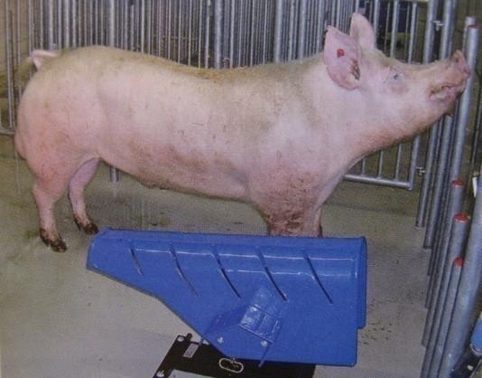 Материалы для искусственного осеменения свиней транспортировка спермы